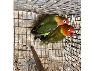 Pareja de lovebrid ficher verdes olivos  Puerto Rico