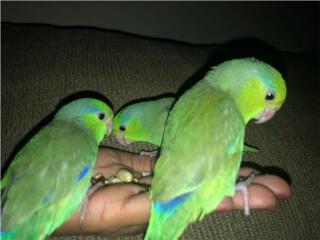 Parrotlets Puerto Rico