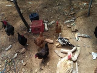 10 gallinas ponedoras poniendo y gallo  Puerto Rico