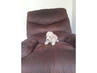 Toy poodle * miniatura Puerto Rico