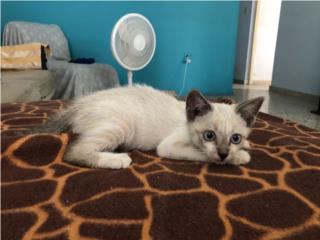 Gatito para adopción. Macho, 1 mes y medio Puerto Rico
