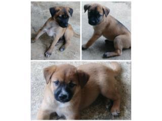 Cariñosos perritos para adopción Puerto Rico