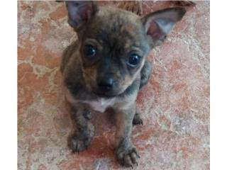 Chihuahua Puppy color merle Puerto Rico
