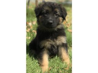 Puerto Rico German Shepherd AKC, Perros Gatos y Caballos