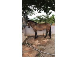 Yegua Mansa Corto, Largo y se tira $600 Puerto Rico