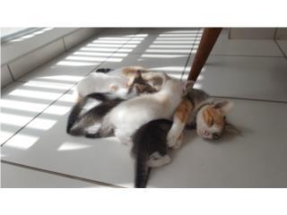 Dando en adopción sin costo 4 gatitos bebes  Puerto Rico