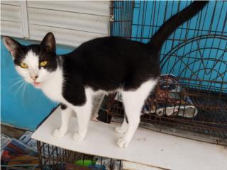 Gato esterilizado Puerto Rico