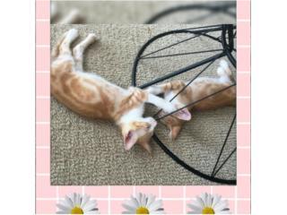 para adopción 2 gatitos Pepe y Pepo Puerto Rico