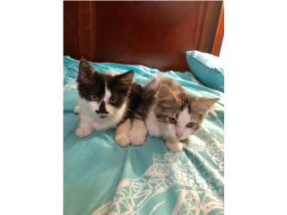 Gatos machos  Puerto Rico