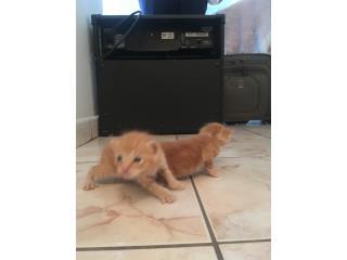 Gatos bebes en adopcion Puerto Rico
