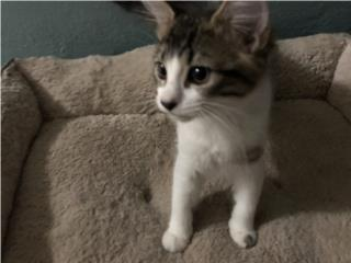 Preciosos gatos para regalar Puerto Rico