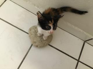 Se regala gatita rescatada Puerto Rico