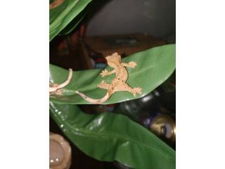 Crested Gecko Dalmata Puerto Rico