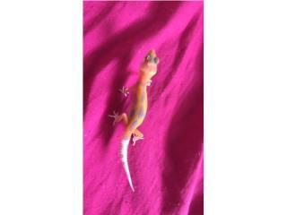 Geckos bebes Puerto Rico