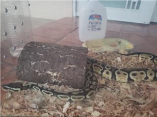 Python regius Puerto Rico