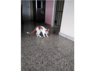 Regalo gatito de seis messes y no lo puede te Puerto Rico