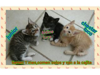 Se regalan gatitos de 1 mes Puerto Rico