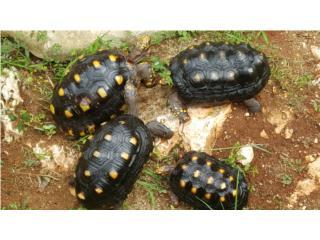 2 parejas de Tortugas Red Foot  Puerto Rico
