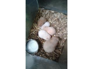 Hamster ratas gerber Puerto Rico