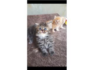 Hermosos gatitos persas puros Puerto Rico