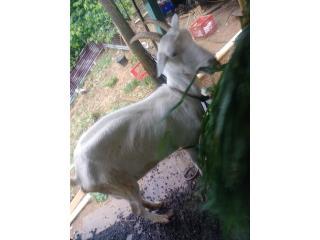 Cabra  Puerto Rico