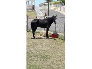 Se vende Caballo Negro de 5 Años  Puerto Rico