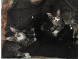 Se regalan 3 gatitos de 2 meses Puerto Rico