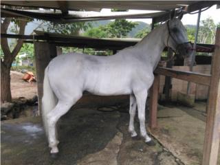 SE VENDE O SE CAMBIA caballo moro adulto Puerto Rico