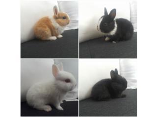 Conejos Enanos Holandes hembras y machos Puerto Rico