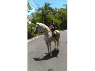 Tennessee walker manso Puerto Rico