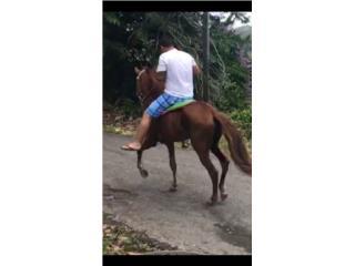 sv caballo urgente me voy de viaje Puerto Rico