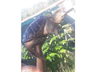 Se cambia tortuga snapping hembra por cotorra o... Puerto Rico