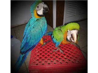 Guacamayo blue & gold baby Puerto Rico