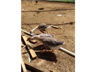 Se vende pareja de gansos Puerto Rico