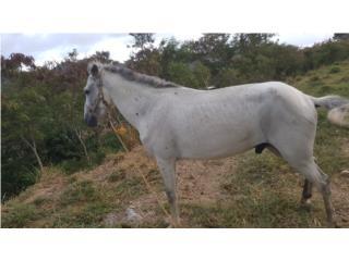 Vendo caballo moro Puerto Rico