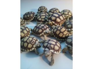 Tortugas terrestres bebés sulcatas Puerto Rico