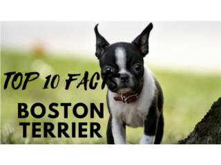 Boston terrier hembra  Puerto Rico