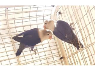 Pareja de Lovebirds Violetas Puerto Rico
