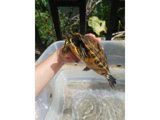 Tortugas reproductoras Puerto Rico