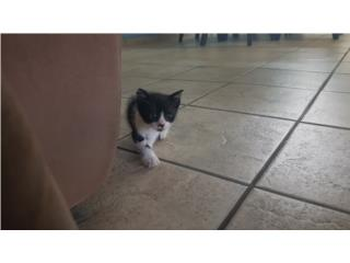 Regalamos un pequeño gatito Puerto Rico