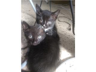 Regalo gatos mita persa Puerto Rico