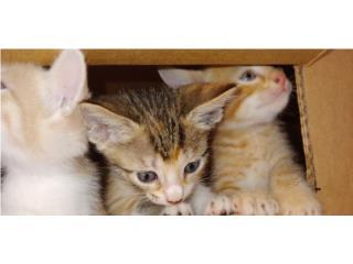 Se regalan lindos gatitos Puerto Rico