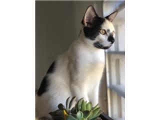 Hermoso gatito en busca de forever home Puerto Rico