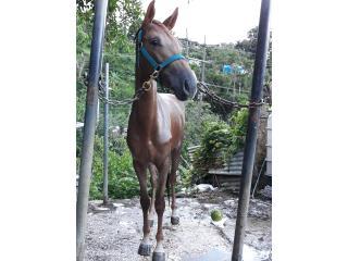 Yegua preciosa en 300  Puerto Rico