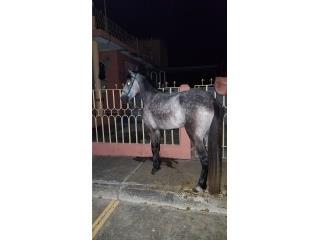 Negoceo o vendo caballo moro Puerto Rico