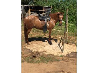 Precioso caballo de 7 años calidad  Puerto Rico