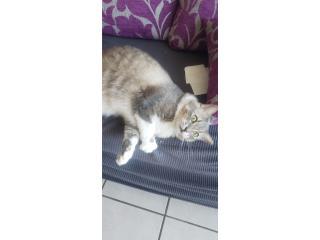 Gato domesticado Puerto Rico