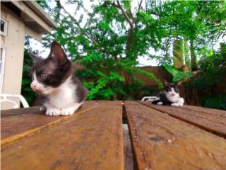 Gatitos hermosos para adopción  Puerto Rico
