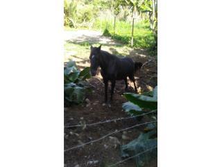 Yegua y caballo Puerto Rico