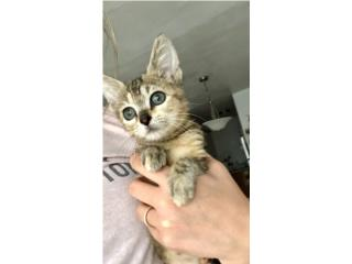Hermosa gatita para adopción  Puerto Rico
